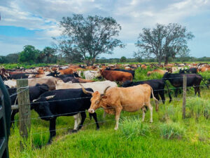 cows at Blue Head Ranch