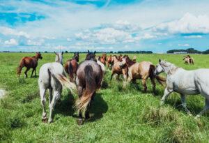 horses running at the Blue Head Ranch